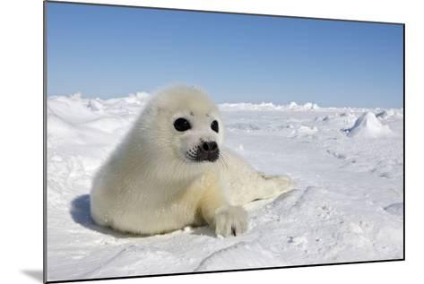 Harp Seal Pup--Mounted Photographic Print