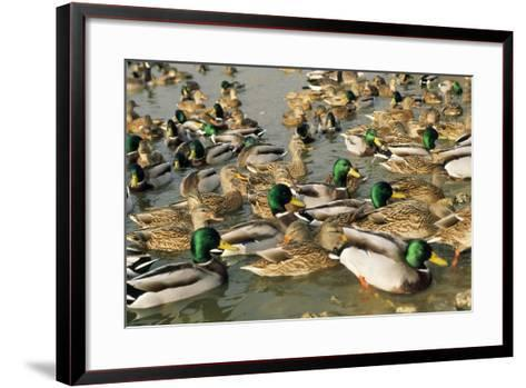 Mallard Duck Flock on Water--Framed Art Print