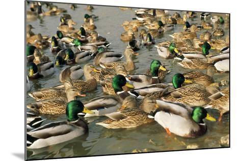 Mallard Duck Flock on Water--Mounted Photographic Print