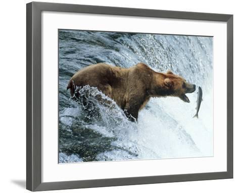 Brown Bear Catching a Fish--Framed Art Print