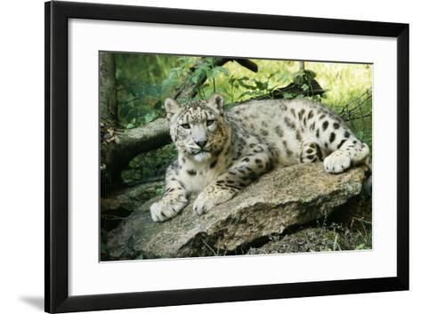 Snow Leopard--Framed Art Print