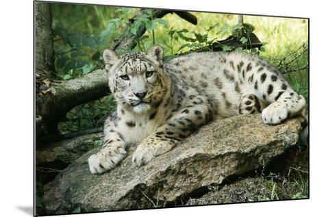 Snow Leopard--Mounted Photographic Print