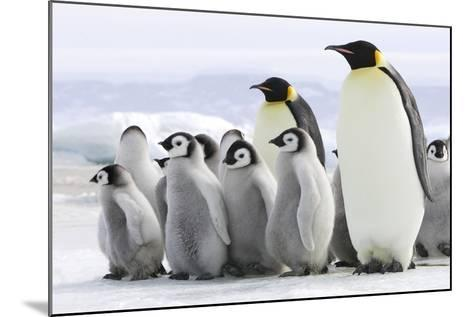 Emperor Penguin Adults with Chicks--Mounted Photographic Print
