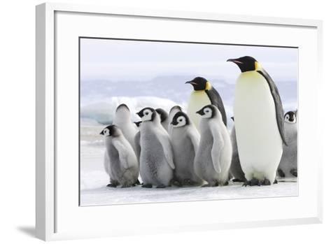 Emperor Penguin Adults with Chicks--Framed Art Print