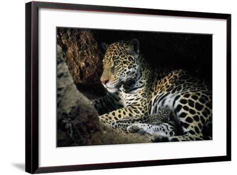 Jaguar Female, with 2 Day Old Cub in Forest Floor--Framed Art Print