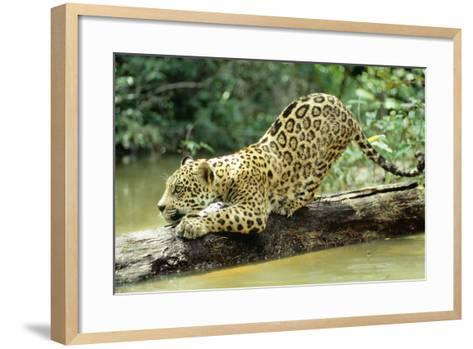 Jaguar Sub-Adult, Scratching Log--Framed Art Print