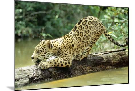 Jaguar Sub-Adult, Scratching Log--Mounted Photographic Print