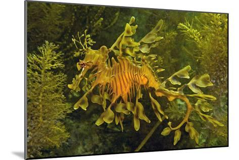 Leafy Sea Dragon--Mounted Photographic Print