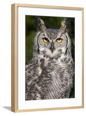 Montana Great Horned Owl Adult--Framed Art Print
