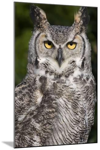 Montana Great Horned Owl Adult--Mounted Photographic Print