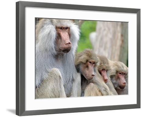 Sacred Baboon Male with His Harem--Framed Art Print