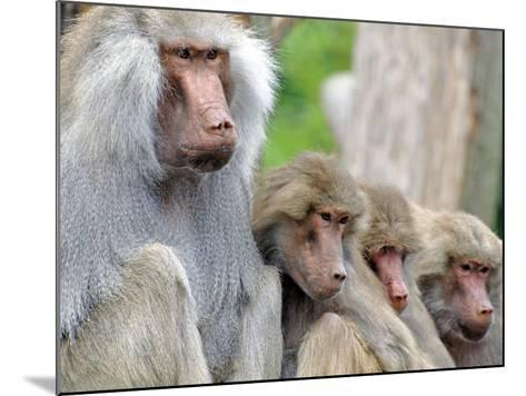 Sacred Baboon Male with His Harem--Mounted Photographic Print