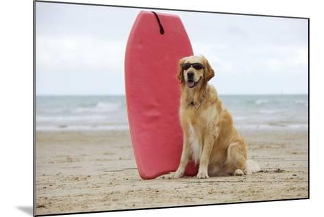 Golden Retriever Wearing Sunglasses Next to Surf Board--Mounted Photographic Print