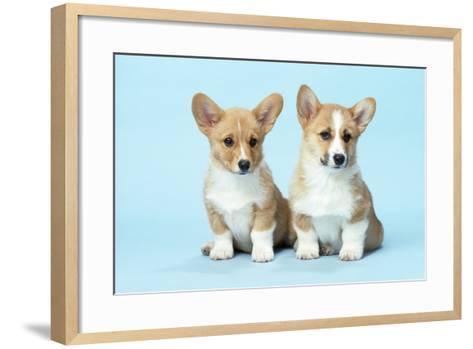Welsh Corgi Dog (Pembroke) Puppies--Framed Art Print
