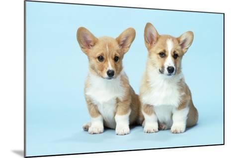 Welsh Corgi Dog (Pembroke) Puppies--Mounted Photographic Print