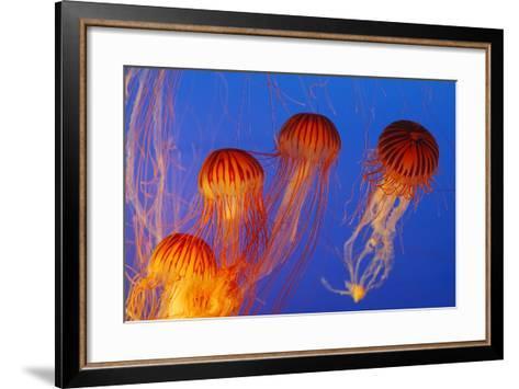 Japanese, Pacific Sea Nettle, Jellyfish--Framed Art Print