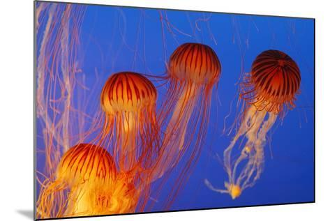 Japanese, Pacific Sea Nettle, Jellyfish--Mounted Photographic Print