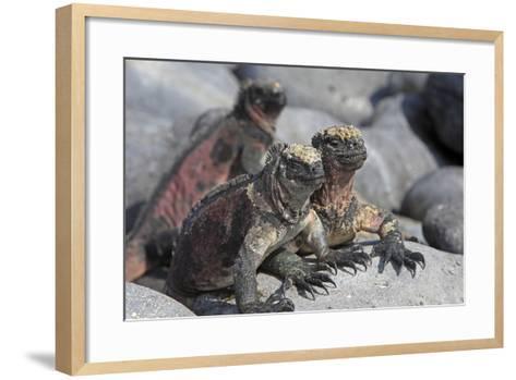 Marine Iguana--Framed Art Print