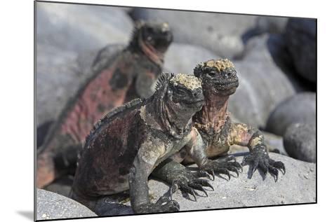 Marine Iguana--Mounted Photographic Print
