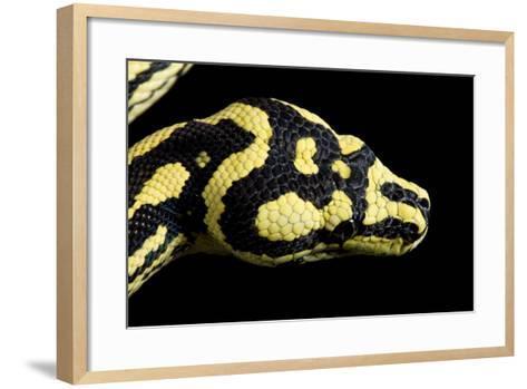 Jungle Carpet Python Head--Framed Art Print