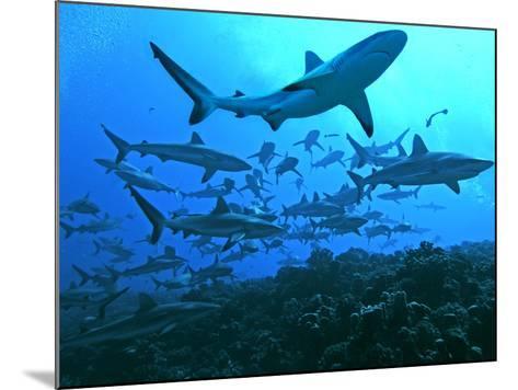 Grey Reef Sharks Swimming into the Fakarava Lagoon--Mounted Photographic Print