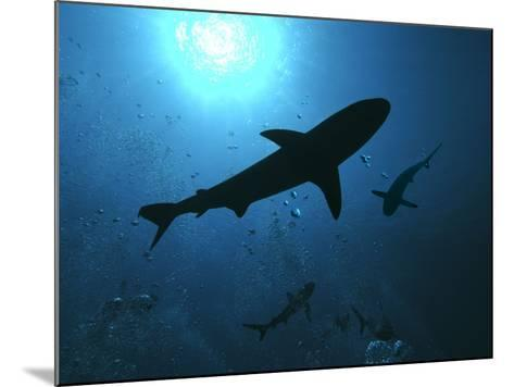 Grey Reef Sharks Swim Through the Divers Bubbles--Mounted Photographic Print