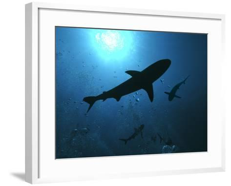 Grey Reef Sharks Swim Through the Divers Bubbles--Framed Art Print