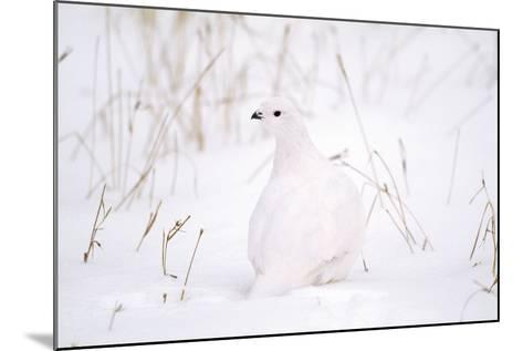 Rock Ptarmigan in Snow--Mounted Photographic Print