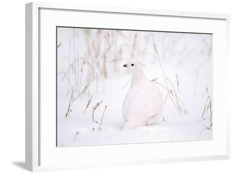 Rock Ptarmigan in Snow--Framed Art Print