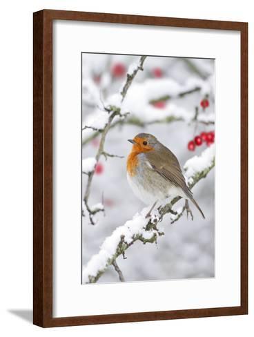 European Robin in Winter on Snowy Branch--Framed Art Print