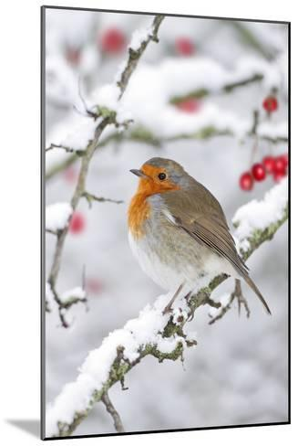 European Robin in Winter on Snowy Branch--Mounted Photographic Print