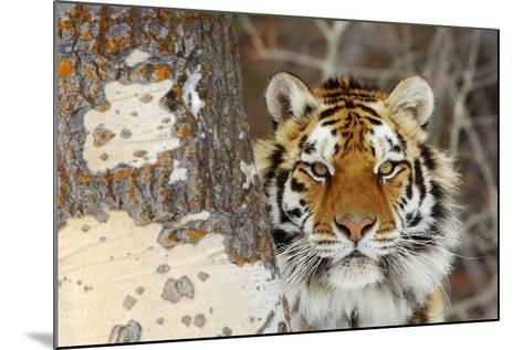 Amur Tiger in Winter Snow--Mounted Photographic Print
