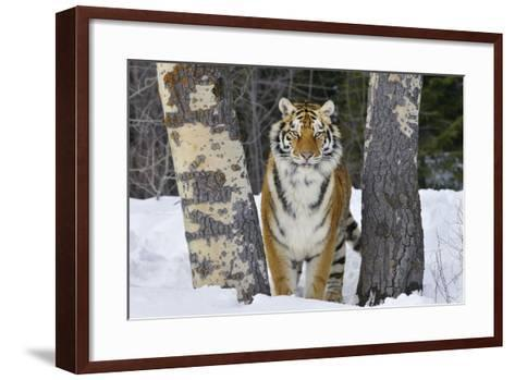 Amur Tiger in Winter Snow--Framed Art Print