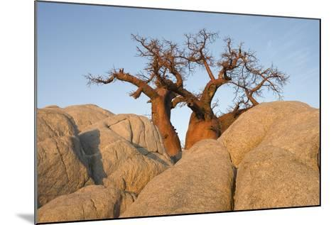 Boab in the Early Morning at the Isolated--Mounted Photographic Print