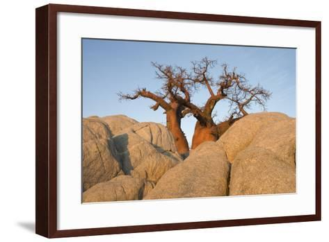 Boab in the Early Morning at the Isolated--Framed Art Print
