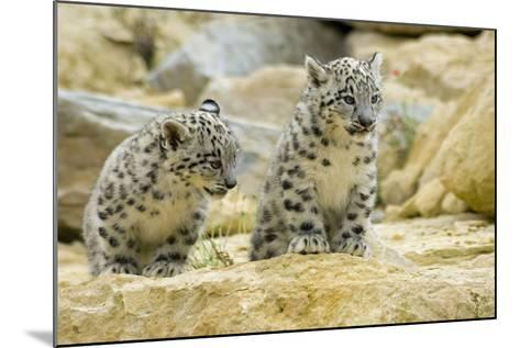 Snow Leopards Cubs--Mounted Photographic Print