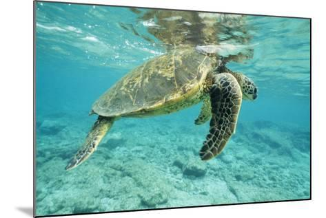 Green Sea Turtle at Water's Surface--Mounted Photographic Print