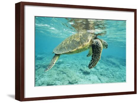 Green Sea Turtle at Water's Surface--Framed Art Print