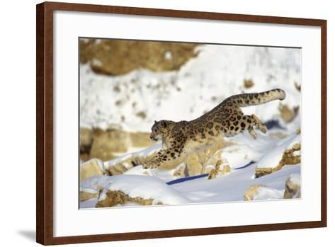 Snow Leopard Running Through Snow with Rocks Behind--Framed Art Print