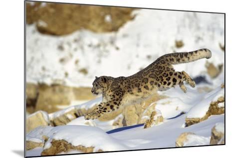 Snow Leopard Running Through Snow with Rocks Behind--Mounted Photographic Print
