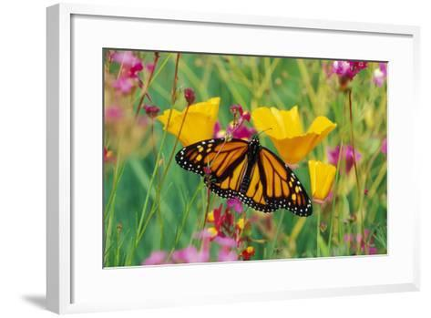 Milkweed Butterfly on California--Framed Art Print