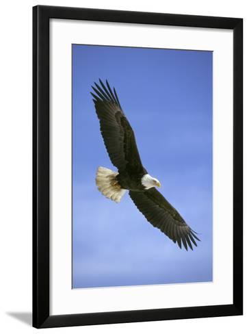 Bald Eagle in Flight--Framed Art Print