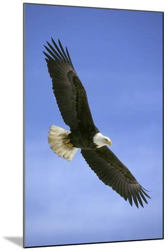 Bald Eagle in Flight--Mounted Photographic Print
