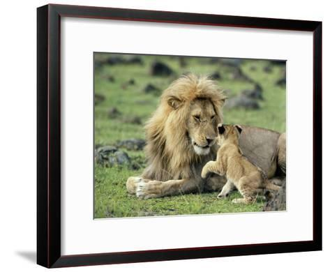 Lion Single Male Playing with Cub--Framed Art Print