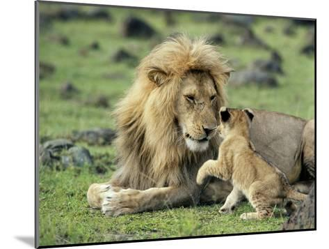Lion Single Male Playing with Cub--Mounted Photographic Print