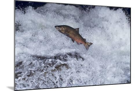 Chinook Salmon Leaping Falls During Migration--Mounted Photographic Print