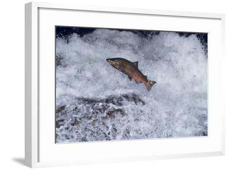 Chinook Salmon Leaping Falls During Migration--Framed Art Print