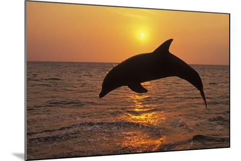 Bottlenosed Dolphin Leaping Out of Water at Sunset--Mounted Photographic Print