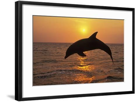 Bottlenosed Dolphin Leaping Out of Water at Sunset--Framed Art Print