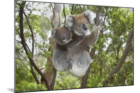 Koala Mother with Piggybacking Young Climbs Up--Mounted Photographic Print